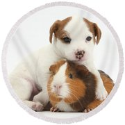 Jack Russell Terrier Puppy And Guinea Round Beach Towel