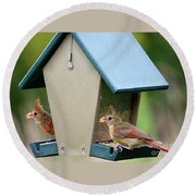 Juvenile Cardinals On Feeder Round Beach Towel