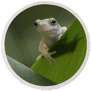Juvenile Grey Treefrog Round Beach Towel
