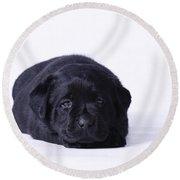 Lab Puppy Round Beach Towel