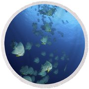 Large School Of Batfish, Christmas Round Beach Towel