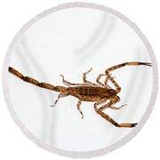 Lesser Brown Scorpion Round Beach Towel