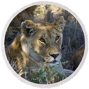 Lioness With Pride In Shade Round Beach Towel