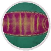 Lm Of An Alga, Surirela Sp Round Beach Towel by Eric Grave