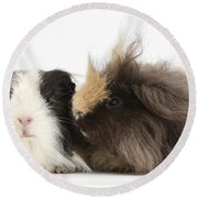 Long-haired Guinea Pigs Round Beach Towel
