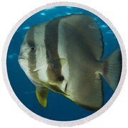 Longfin Spadefish, Papua New Guinea Round Beach Towel by Steve Jones