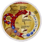 Malaria Parasite Life Cycle Round Beach Towel by Science Source