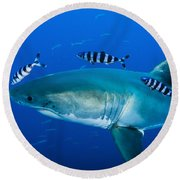 Male Great White Shark And Pilot Fish Round Beach Towel