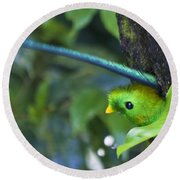 Male Quetzal Working On Nest Hole Round Beach Towel