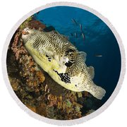 Map Pufferfish, Indonesia Round Beach Towel