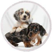Merle Dachshund Pups Round Beach Towel