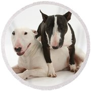 Miniature Bull Terrier Bitch, Lily Round Beach Towel by Mark Taylor