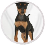 Miniature Pinscher Puppy Round Beach Towel