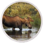 Moose Drinking In A Pond, Tombstone Round Beach Towel