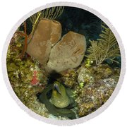 Moray Eel, Belize Round Beach Towel