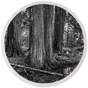 Old Growth Cedar Trees - Montana Round Beach Towel