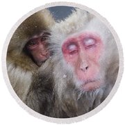 Older Snow Monkey Being Groomed By A Round Beach Towel