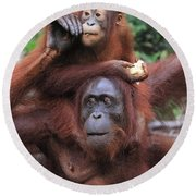 Orangutans Round Beach Towel