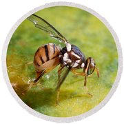 Oriental Fruit Fly Laying Eggs Round Beach Towel