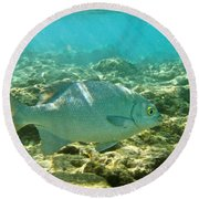 Pacific Chub 1080113.jpg Round Beach Towel