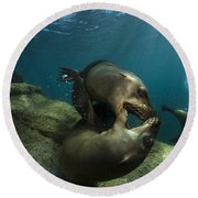 Pair Of Playful Sea Lions, La Paz Round Beach Towel by Todd Winner