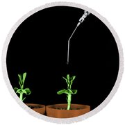 Pea Plants Grown With Gibberellic Acid Round Beach Towel