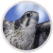 Prairie Falcon In Flight Round Beach Towel