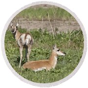 Pronghorn Antelope With Young Round Beach Towel