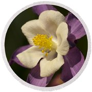 Purple And White Columbine Blossom Facing The Sun - Aquilegia Round Beach Towel