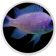 Purple Chromis Round Beach Towel
