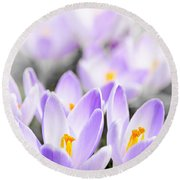 Purple Crocus Blossoms Round Beach Towel