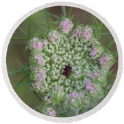 Queen Anne's Lace Flower Partly Open With Dew Round Beach Towel