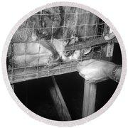 Rabid Fox, 1958 Round Beach Towel