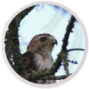 Red-tailed Hawk - Young And The Old Round Beach Towel