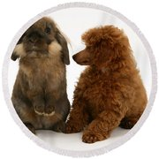 Red Toy Poodle Pup With A Lionhead Round Beach Towel