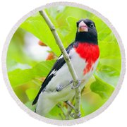 Rose-breasted Grosbeak Round Beach Towel