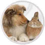 Rough Collie Pup With Rabbit Round Beach Towel