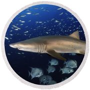 Sand Tiger Shark Swimming In Blue Water Round Beach Towel
