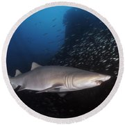 Sand Tiger Shark Swims By The Wreck Round Beach Towel