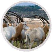 Scimitar-horned Oryx Round Beach Towel
