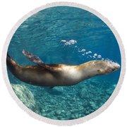 Sea Lion Blowing Bubbles, Los Islotes Round Beach Towel