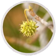Seed Pod On Sycamore Tree Round Beach Towel