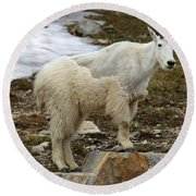 Shedding Mountain Goat Round Beach Towel