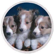 Sheltie Puppies Round Beach Towel by Photo Researchers, Inc.