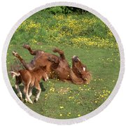 Shetland Pony And Foal Playing Round Beach Towel