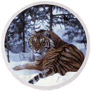 Siberian Tiger Lying On Mound Of Snow Round Beach Towel