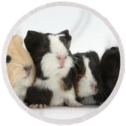 Six Young Guinea Pigs In A Row Round Beach Towel