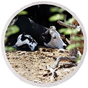 Sleepy Arizona Cows Round Beach Towel