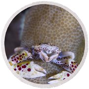 Spotted Porcelain Crab Feeding Round Beach Towel