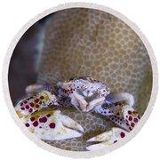 Spotted Porcelain Crab Feeding Round Beach Towel by Steve Jones